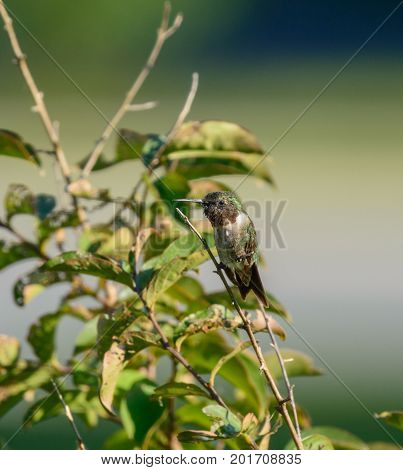 A male Ruby-Throated Hummingbird (Archilochus colubris), not yet with mature plumage,  perched on a stem of a Crepe Myrtle tree during the summer in Carroll County, Maryland, USA.