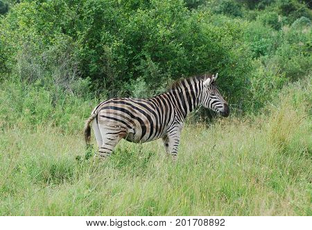 A Burchell zebra walking about in the bush