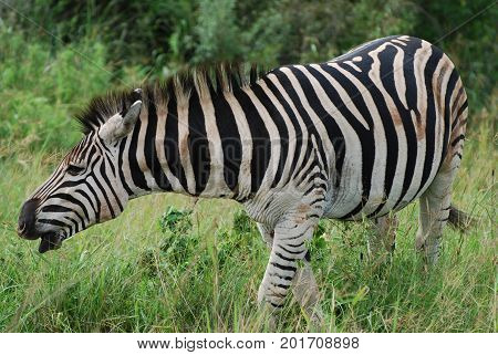 A Burchell zebra making a deep sound