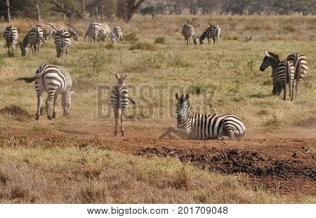 A Burchell zebra taking a sand bath