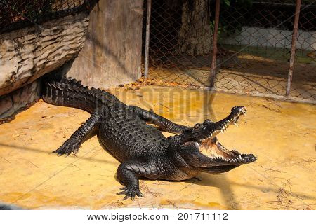 Crocodiles is resting and open mouth on land to sunbathe.