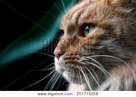 Red cat breed Maine Coon close-up in profile. Cat close-ups looks into the left side