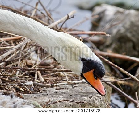 Beautiful Isolated Photo Of A Mute Swan In The Nest