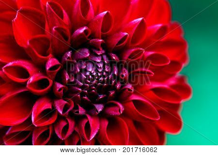 Red dahlias close-up. A beautiful floral background.