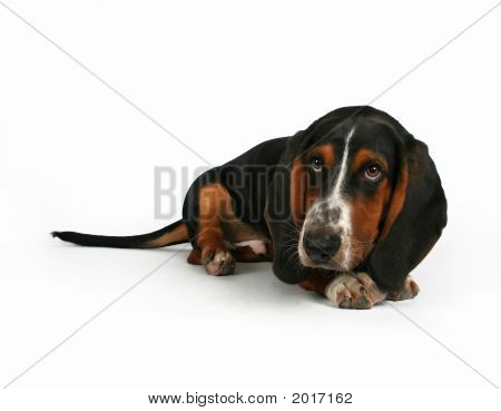 a baby basset hound lying down on a white background poster
