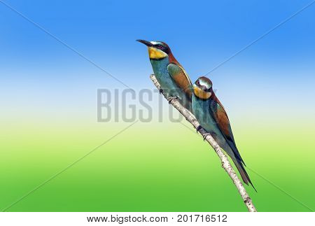 bee-eaters sitting on a branch isolated on color background birds of paradise bee-eaters rainbow colors a group of birds closeup