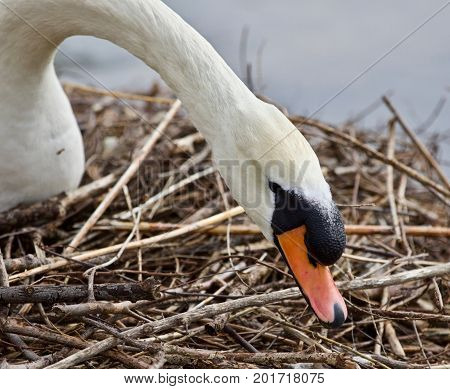Beautiful Isolated Photo Of A Mute Swan Constructing The Nest