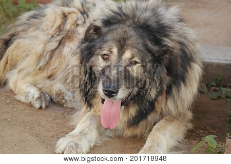 Big dog - Caucasian shepherd dog in the yard of farm house in Russian countryside, close up