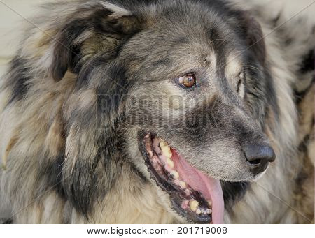 Portrait of caucasian shepherd dog in the yard , close up view