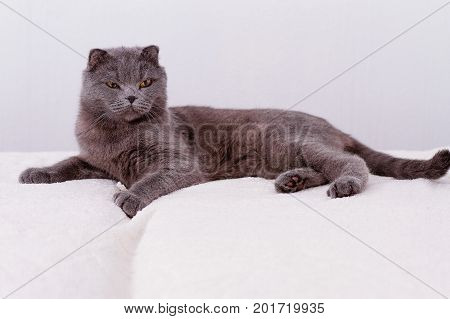 Gray thoroughbred thoroughbred Scottish lop eared cat