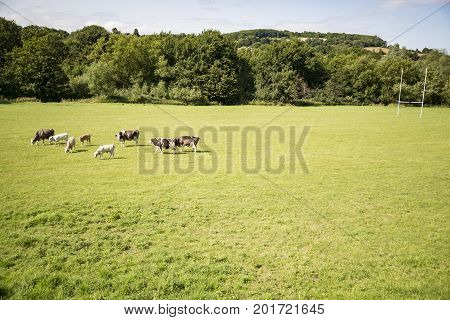 Cows on a green field and blue sky in south of England