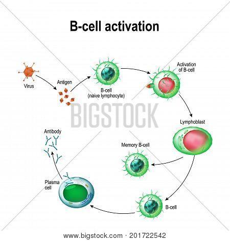 Activation of B-cell leukocytes: lymphoblast, activation, memory B-leukocyte, virus, plasma cell, antibody, antigen, and naive lymphocyte