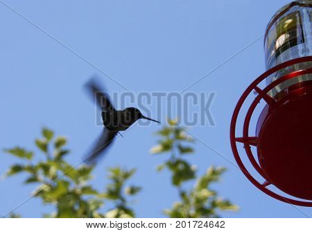 Flying hummingbird gets ready to land on red feeder near trees in park.