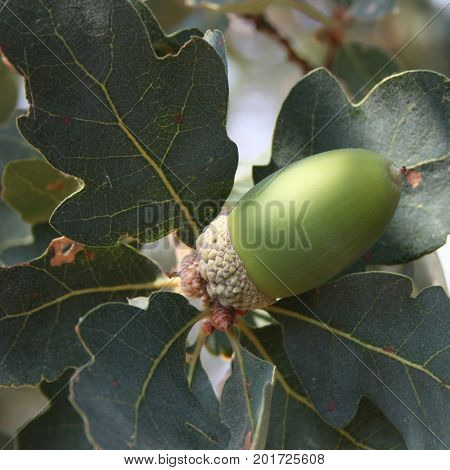 Large green oak acorn growing on healthy oak tree with leaves seemingly supporting it.