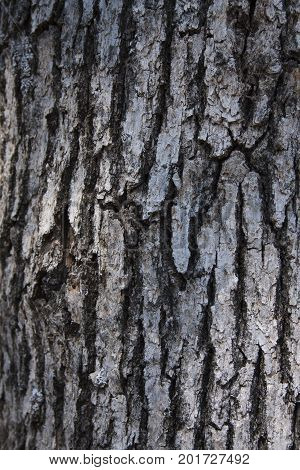 Oak tree bark appears silver in the sunlight. Photo was taken during August 21, 2017 eclipse where the sky resembled intense dusk light.
