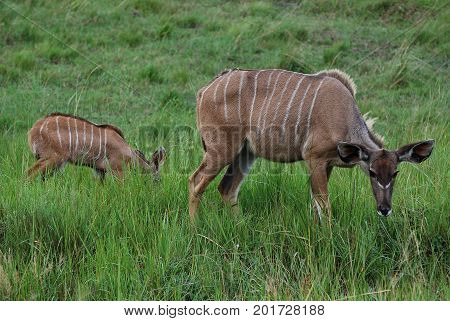 A nyala mother with young grazing at ease