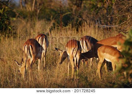 A herd of impalas in evening light