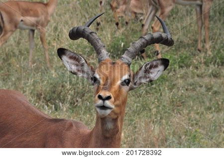 A young impala male with nice antlers
