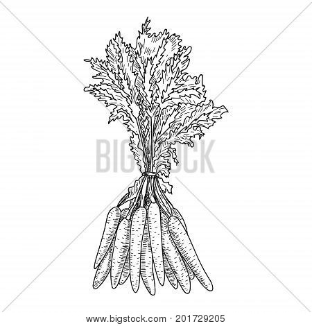 Carrot hand drawn vector illustration Isolated Vegetable engraved style object with sliced pieces. Detailed vegetarian food drawing. Farm market product. Great for menu, label, icon