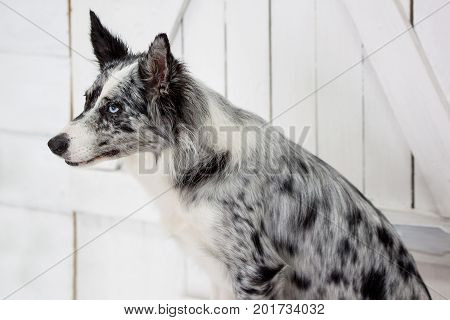 Blue merle border collie are sitting near the wooden door. Pet animals.