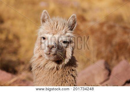 Peruvian alpaca in Andes