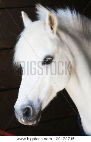 kleine weiße Pony, liebenswert
