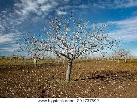 Pistachio tree during winter in Gaziantep Turkey