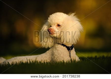 White Miniature Poodle lying in grass wearing harness