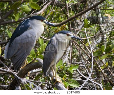 A Pair of Black Crowned Night Herons on a branch. poster
