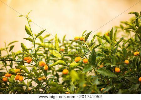 Fortunella garden