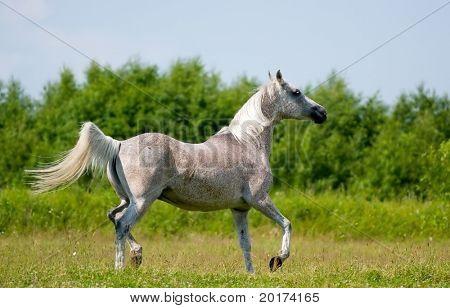 grey arabian mare poster
