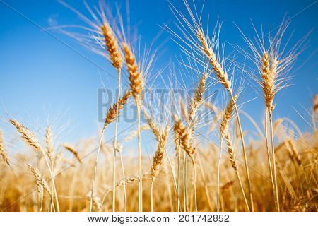 Image of fresh wheat in field