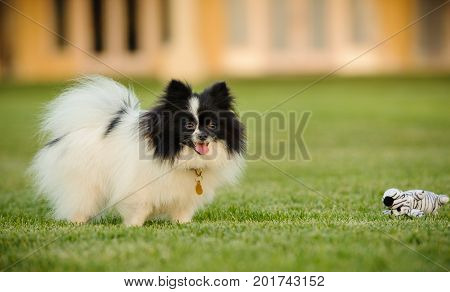 Pomeranian dog outdoor portrait standing in yard with toys