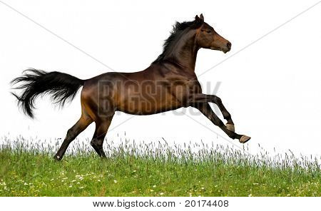bay trakehner stallion
