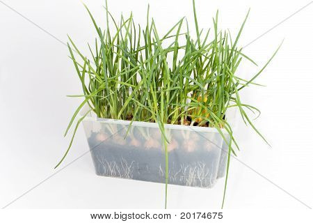Green Onions, Grown In A Plastic Glass Box