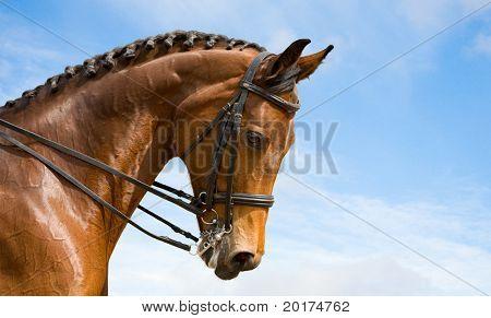 portrait of bay trakehner horse, dressage
