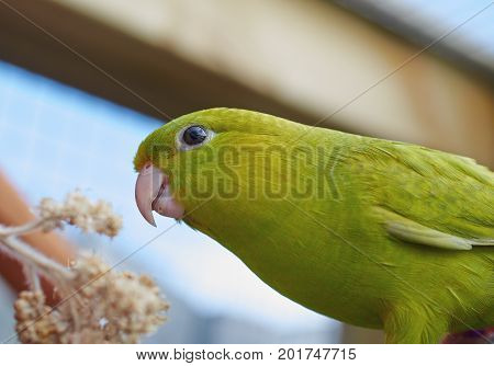 Portrait of a green Barred parakeet (Bolborhynchus lineola) Close up.