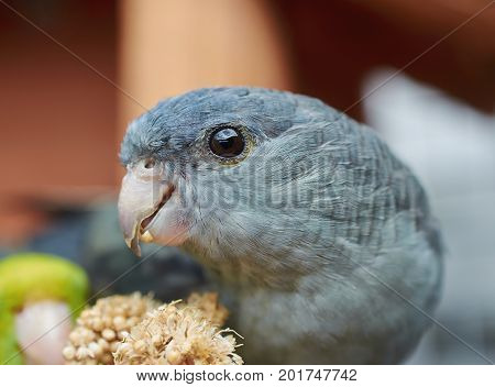 Portrait of a gray Barred parakeet (Bolborhynchus lineola) Close up.