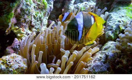 clown fish swimming into Sea Anemone Egypt