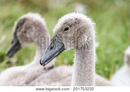 A pair of scruffy grey young Mute Swan cygnets