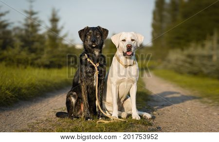 Two cute dogs with dog leash and collar on a sunny street - labrador portrait