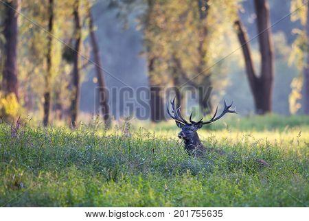 Red Deer Lying In Grass