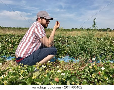 A man harvests a strawberry on a pick your own farm