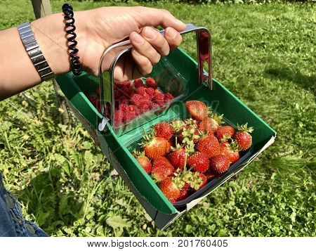 Fresh pick your own fruit punnets of strawberries and raspberries