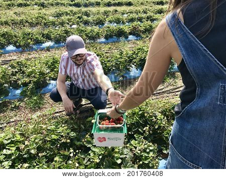 A man and woman pick strawberries on a pick your own farm