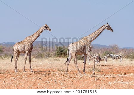 Two giraffes and three Burchells Zebras at the Rateldraf waterhole in North-Western Namibia.