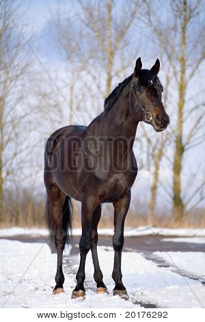 Black trakehner stallion standing at snow in winter