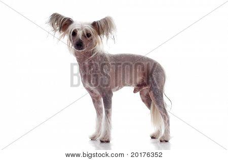 Chinese crested dog isolated on white background, studio shot poster