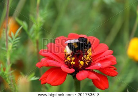 bee bumblebee drink nectar on tagetes marigolds flowers