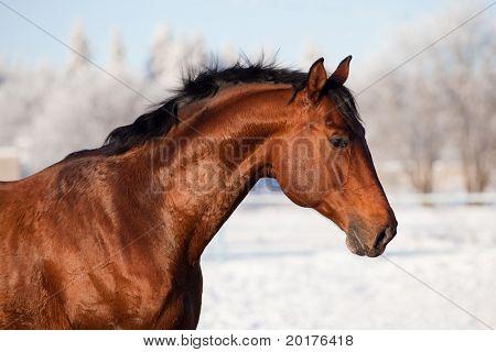 Bay trakehner stallion in winter